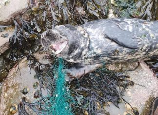 Distressed seal trapped in gill netting | Scottish News