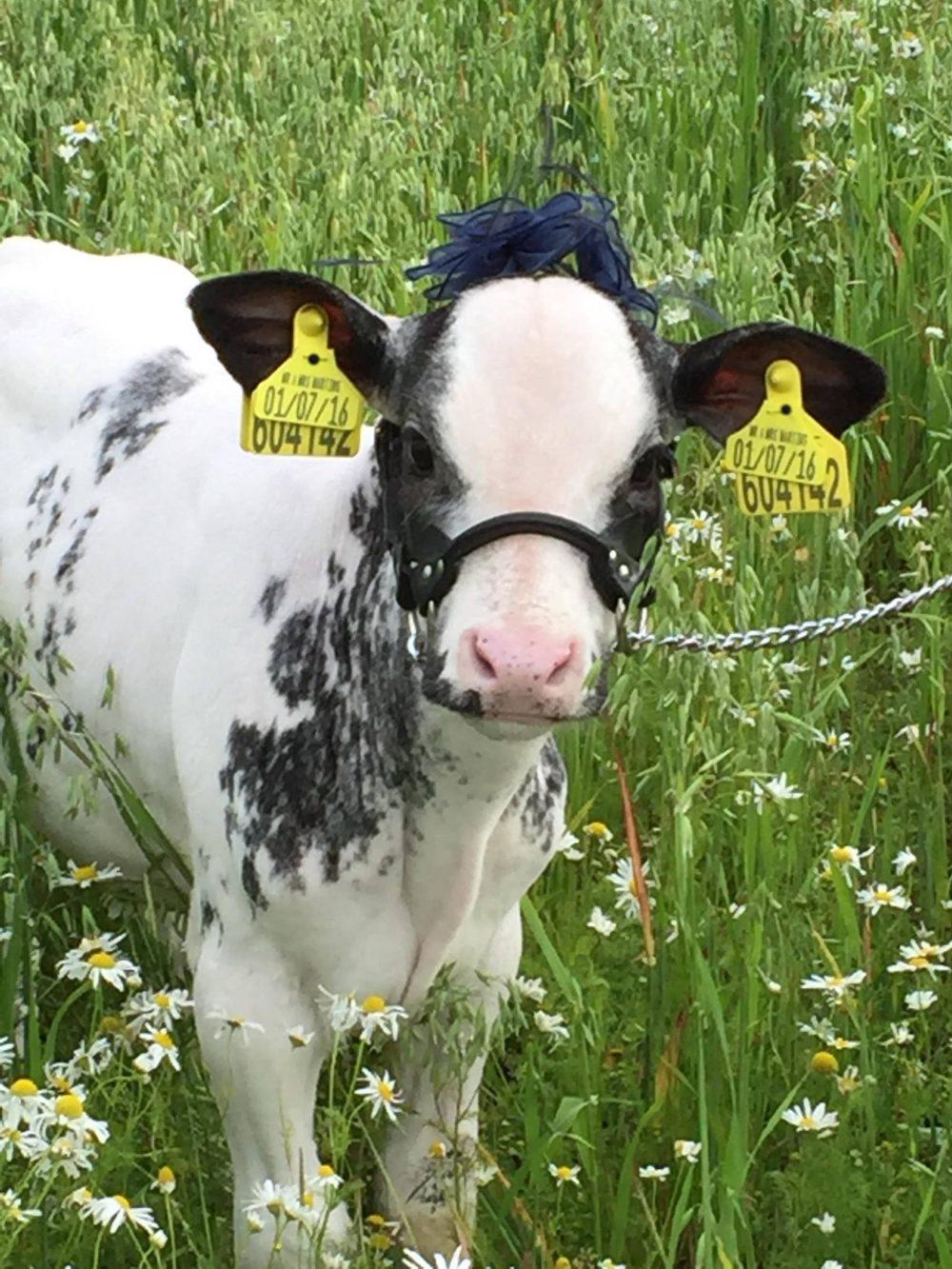 Lazuli the calf wearing a blue fascinator | Agriculture News UK