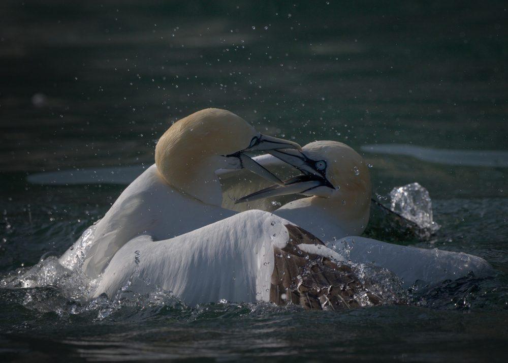Stunning images show gannets fighting | Wildlife News UK