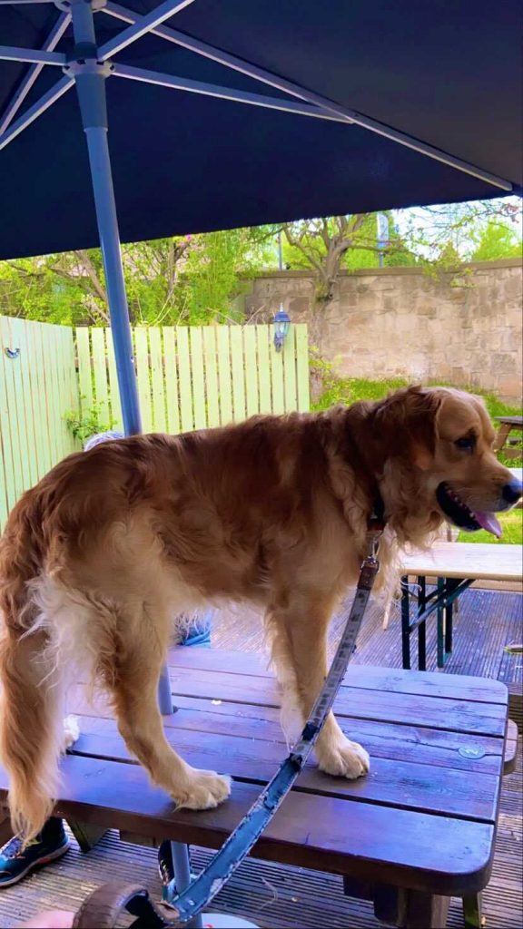 A GOLDEN retriever has become an online hit after he was photographed drinking a pint in a Scots pub - Scottish Animal News