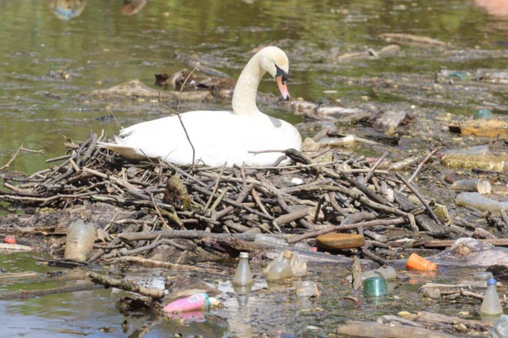 Swan nesting in litter filled river | Scottish News