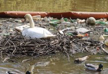 Swan nesting in litter filled river | Scottish News