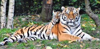 Triplet cubs have been born - Scottish News