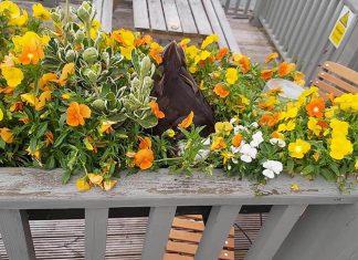Rita the duck nesting in the flower bed - Animal News UK