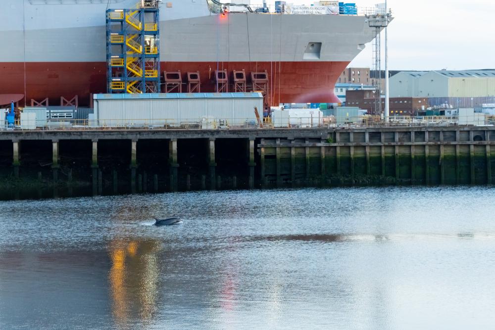 A dolphin surfacing near the HMS Glasgow - Animal News Scotland