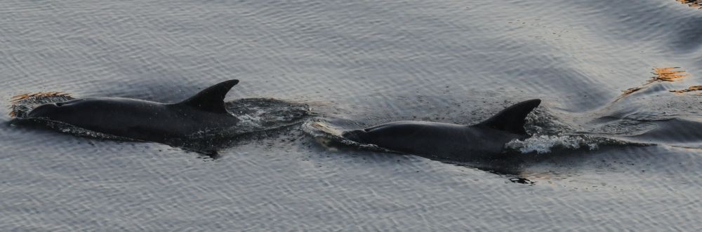 Dolphin Duo spotted in the Clyde - Animal News Scotland
