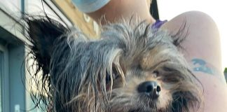 Hero the Chorkie outisde of the vets following his attack - Animal News UK