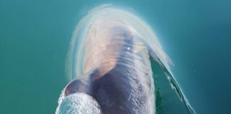 Dolphin surfaces through crystal clear water | Scottish Wildlife News