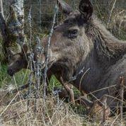 European elk are historically native to Scotland - Scottish News