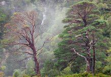 Scot's pine trees at Beinn Eighe NNR - Scottish News