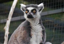 Stumpy the lemur | Animal News Scotland