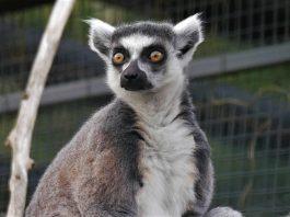 Stumpy the lemur   Animal News Scotland