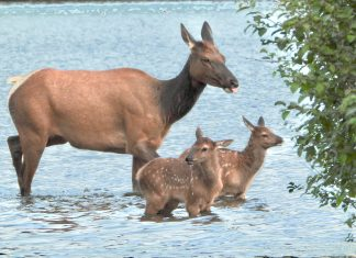European elk twins have been born at the Highland Wildlife Park this month - Scottish News