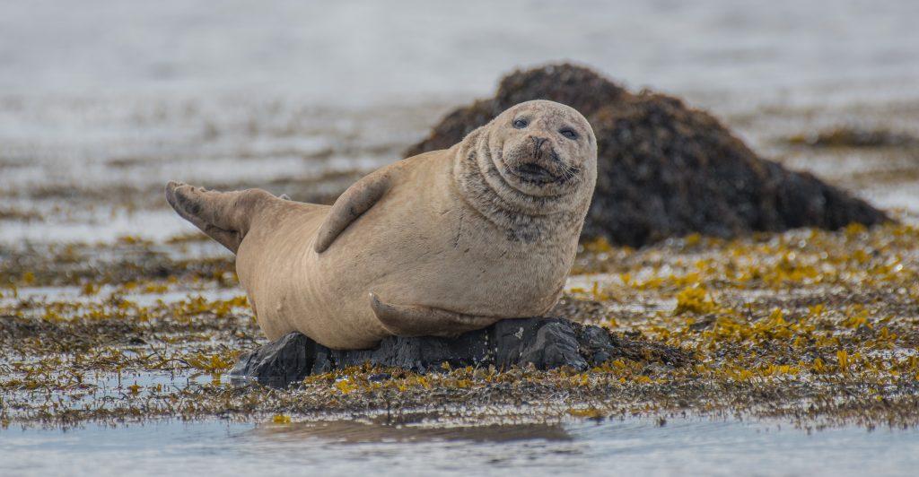 seal laying on a beach - Scottish News