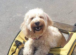 Amber the cockapoo in her bike trailer | Scottish Animal News
