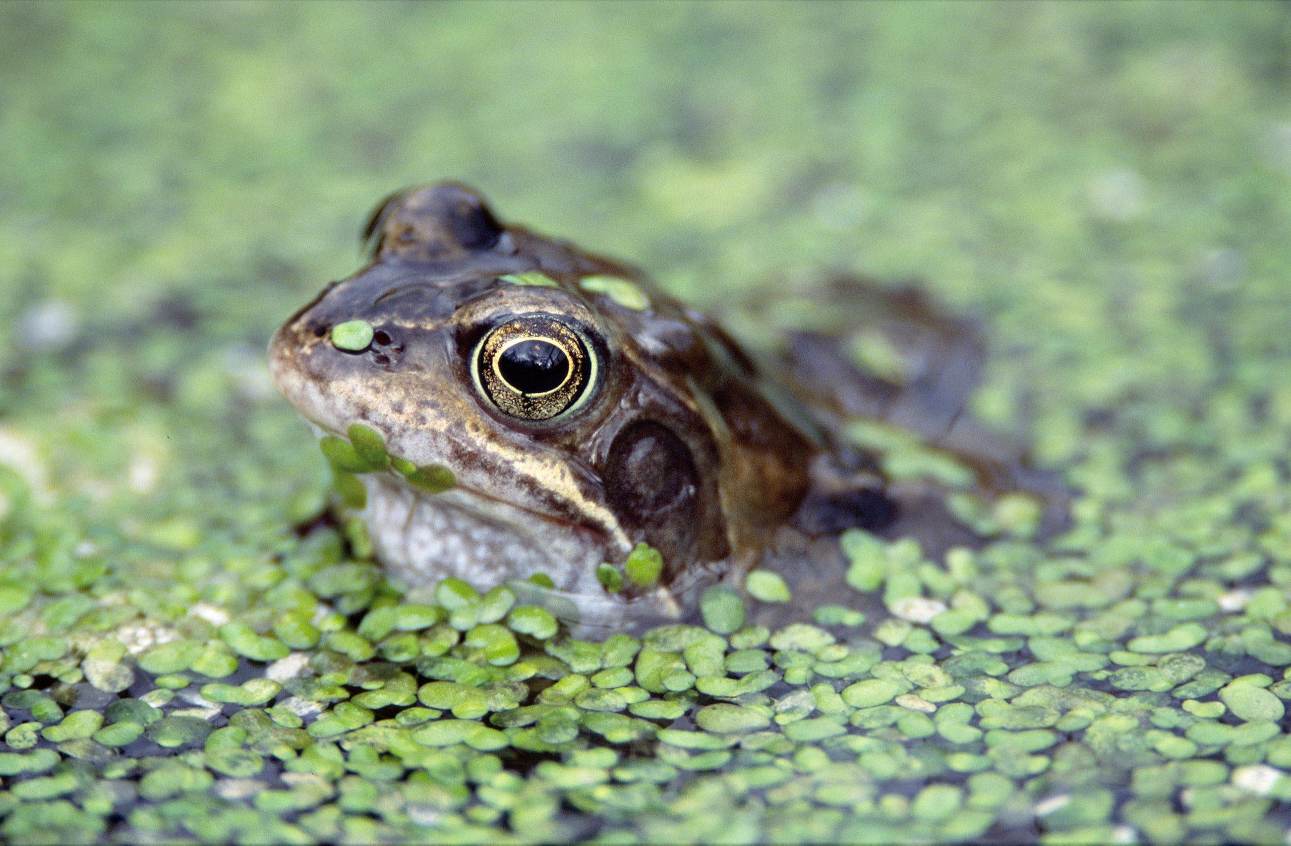 Frog - Nature News Scotland
