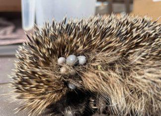 Bert the hedgehog infested by ticks | Wildlife News UK|