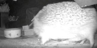 Hedgehog flaunting package - wildlife news UK