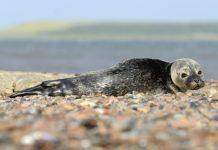 harbour seal pup - scottish news