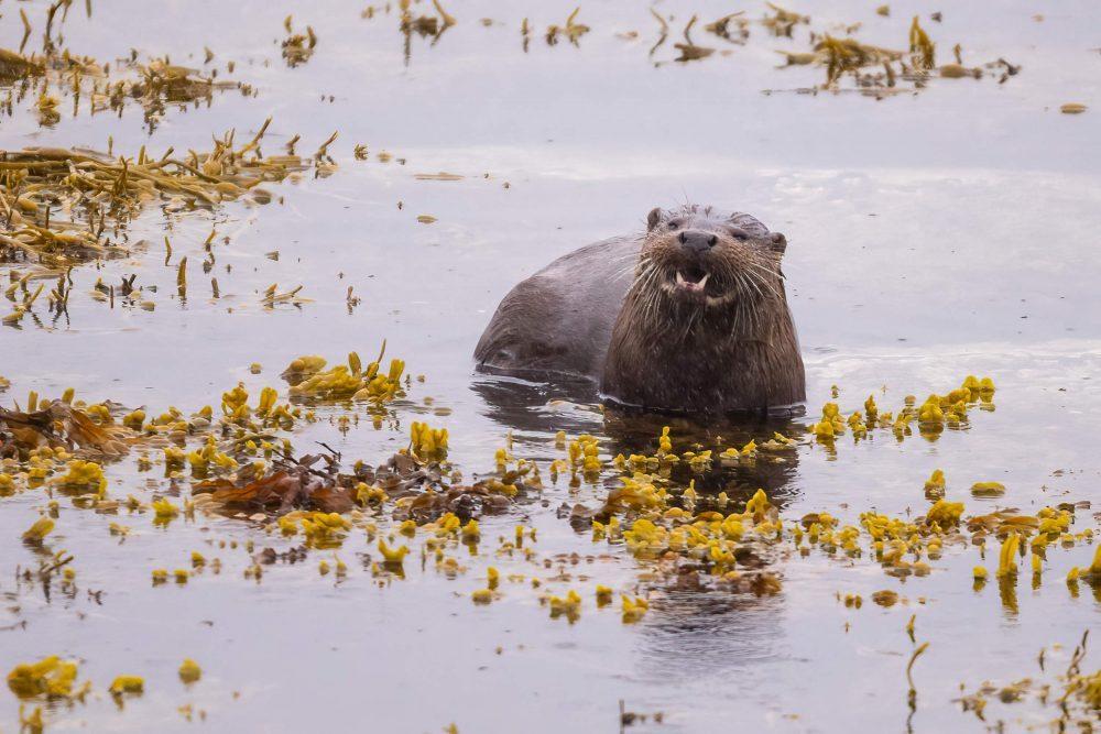 Otter hissing down lens - Wildlife News Scotland
