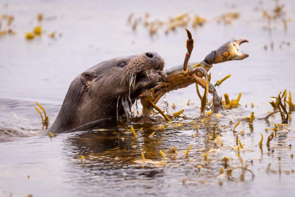 Otter eats crab - Wildlife News Scotland