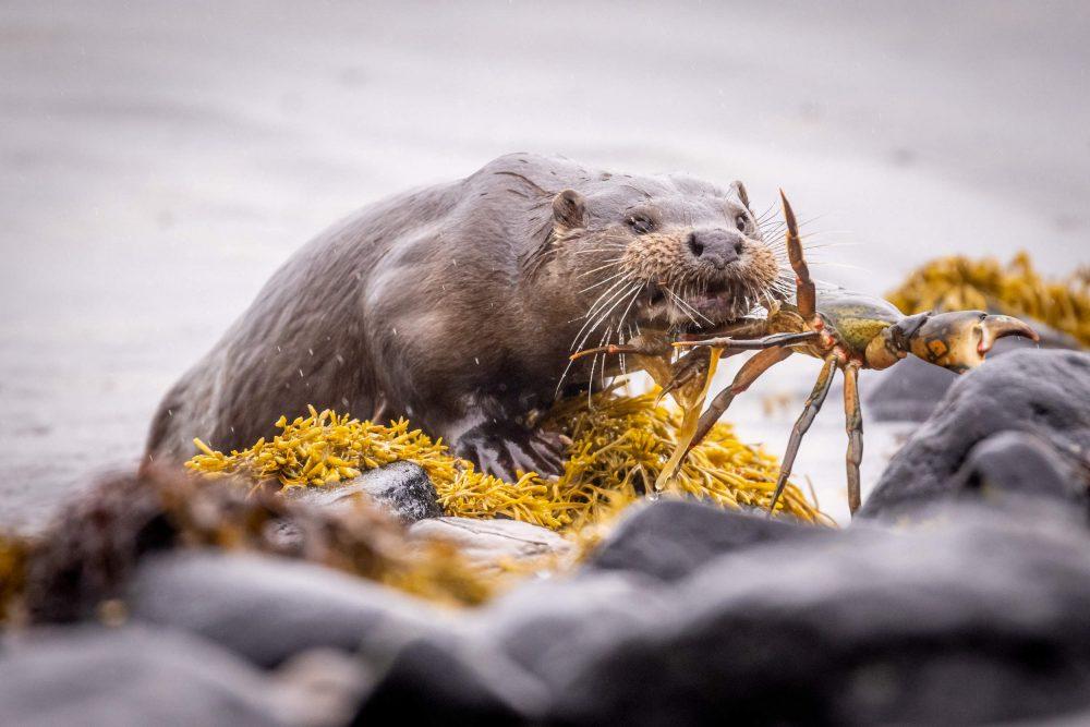 Otter attacks crab - Wildlife News Scotland