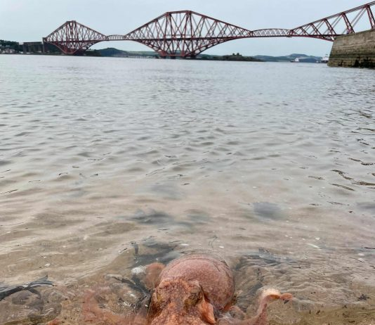 The curled octopus was captured in the Firth of Forth - Scottish Wildlife News