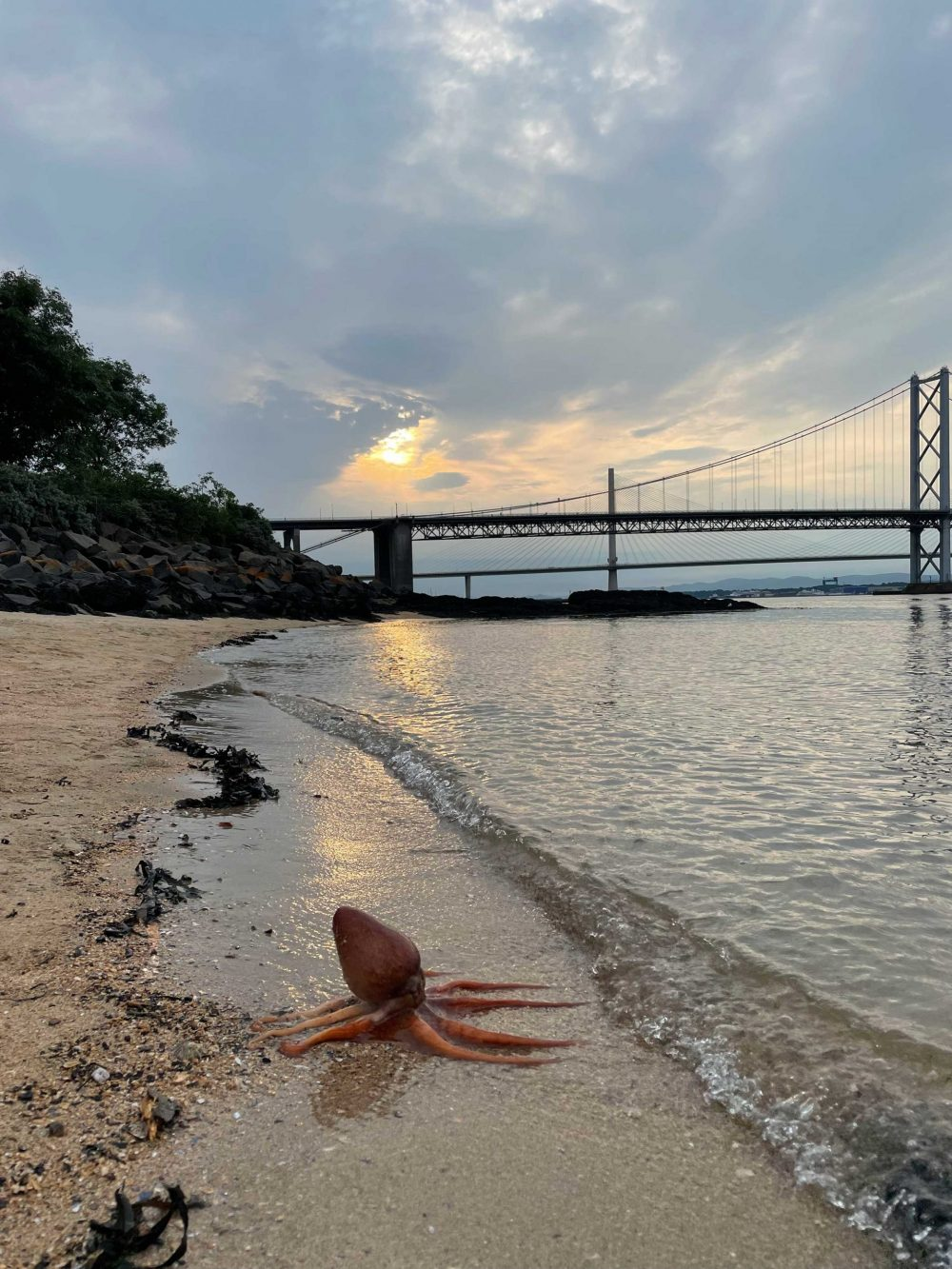 The octopus pictured in front of the sunset - Scottish Wildlife News