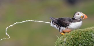 Pooing puffin - photography news Scotland
