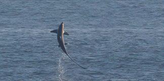 The rare shark breaching - Irish Wildlife News
