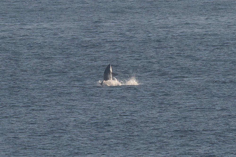 The rare thresher shark coming out of the Irish sea - Irish Wildlife News