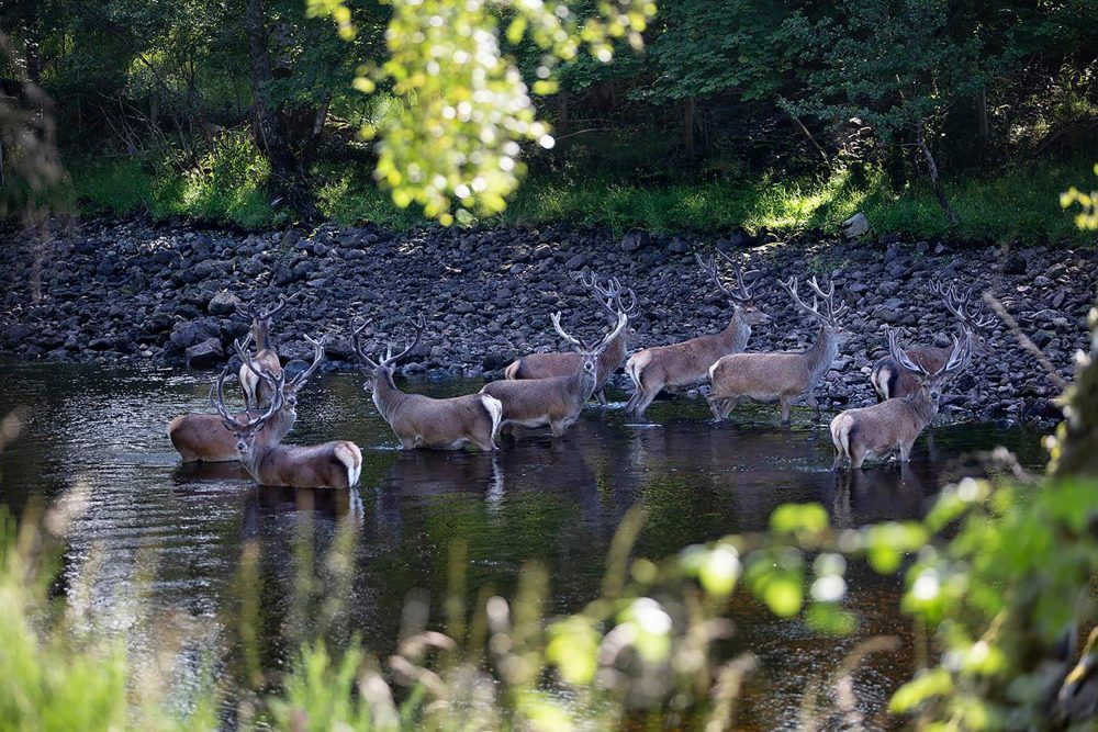 The herd keeping cool in the heatwave - Scottish Wildlife News