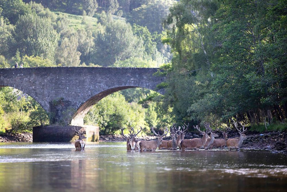 The herd wades further in - Scottish Wildlife News