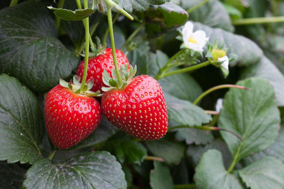 strawberries - Scottish News