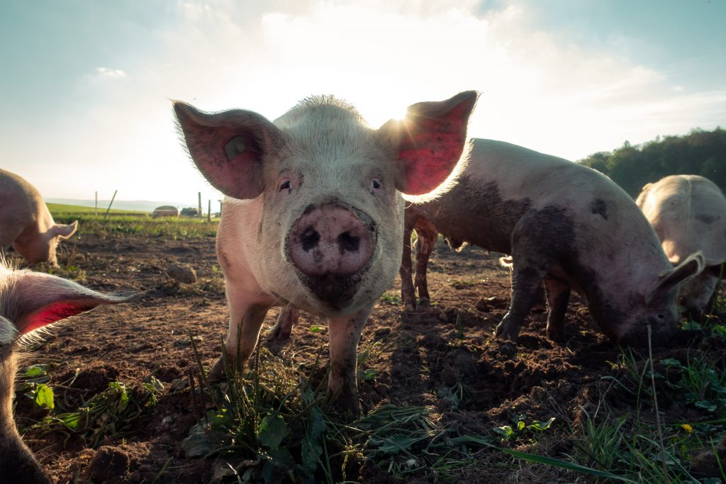 pig in mud - scottish news