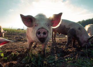 pink pig - scottish news