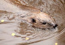 Beaver in water - Scottish news