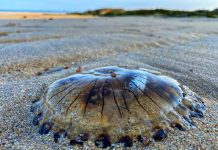 The Compass jellyfish - Nature News UK