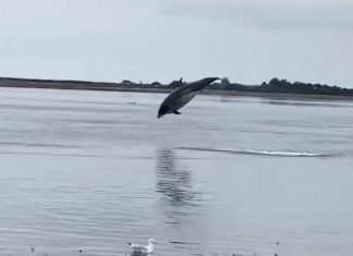 Dolphin leaping stunningly out the water | Scottish Animal News