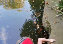 Grant fishing out the ring from a pond in Lincoln Arboretum