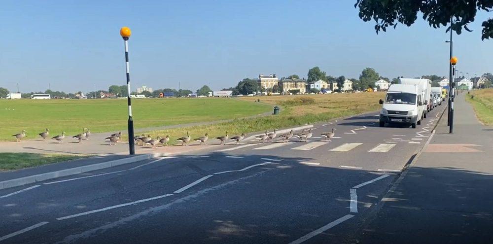 Geese walking over zebra crossing   Animal News