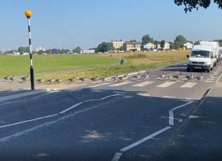 Geese walking over zebra crossing | Animal News