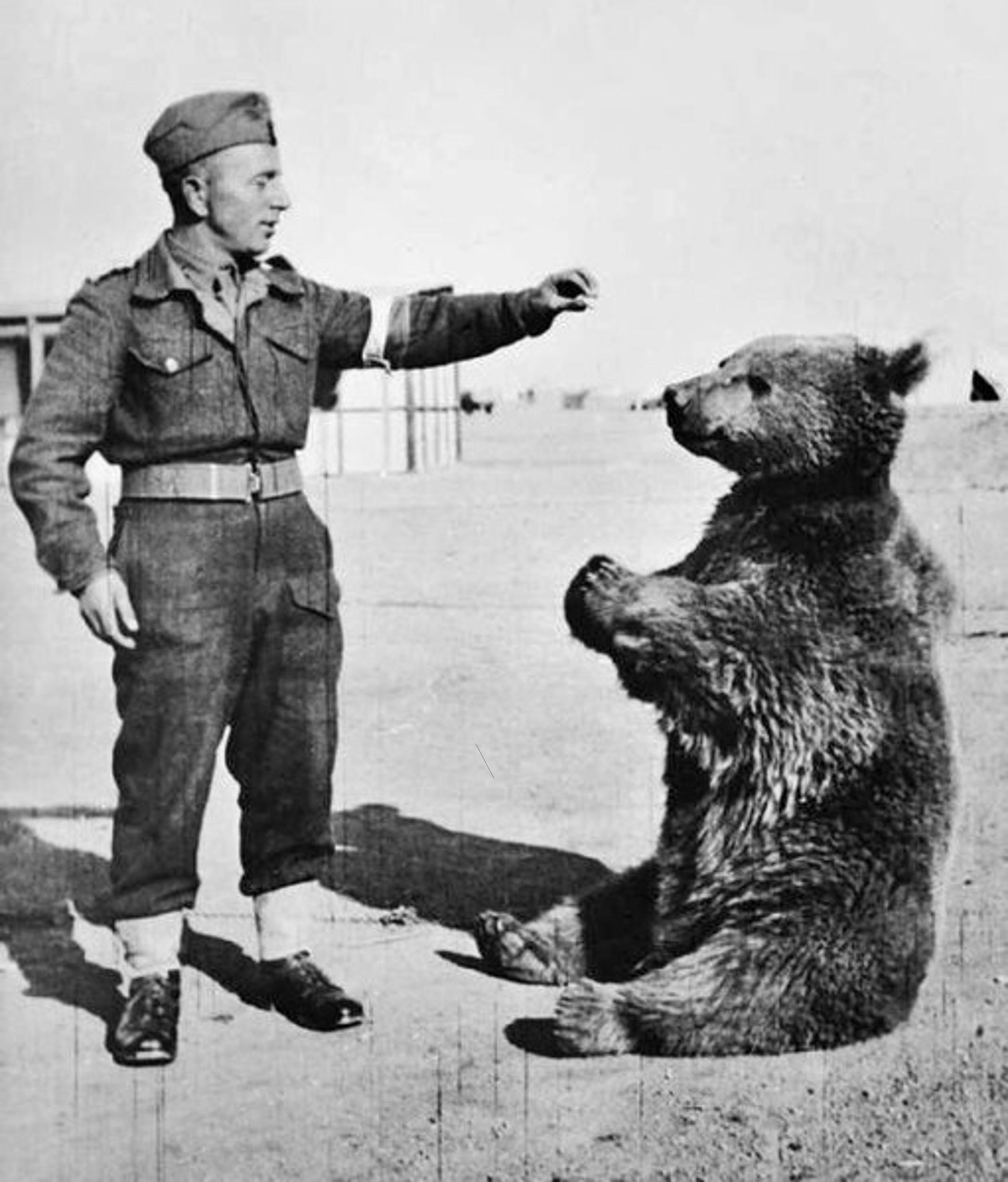Wojtek the Bear taking food from a polish soldier