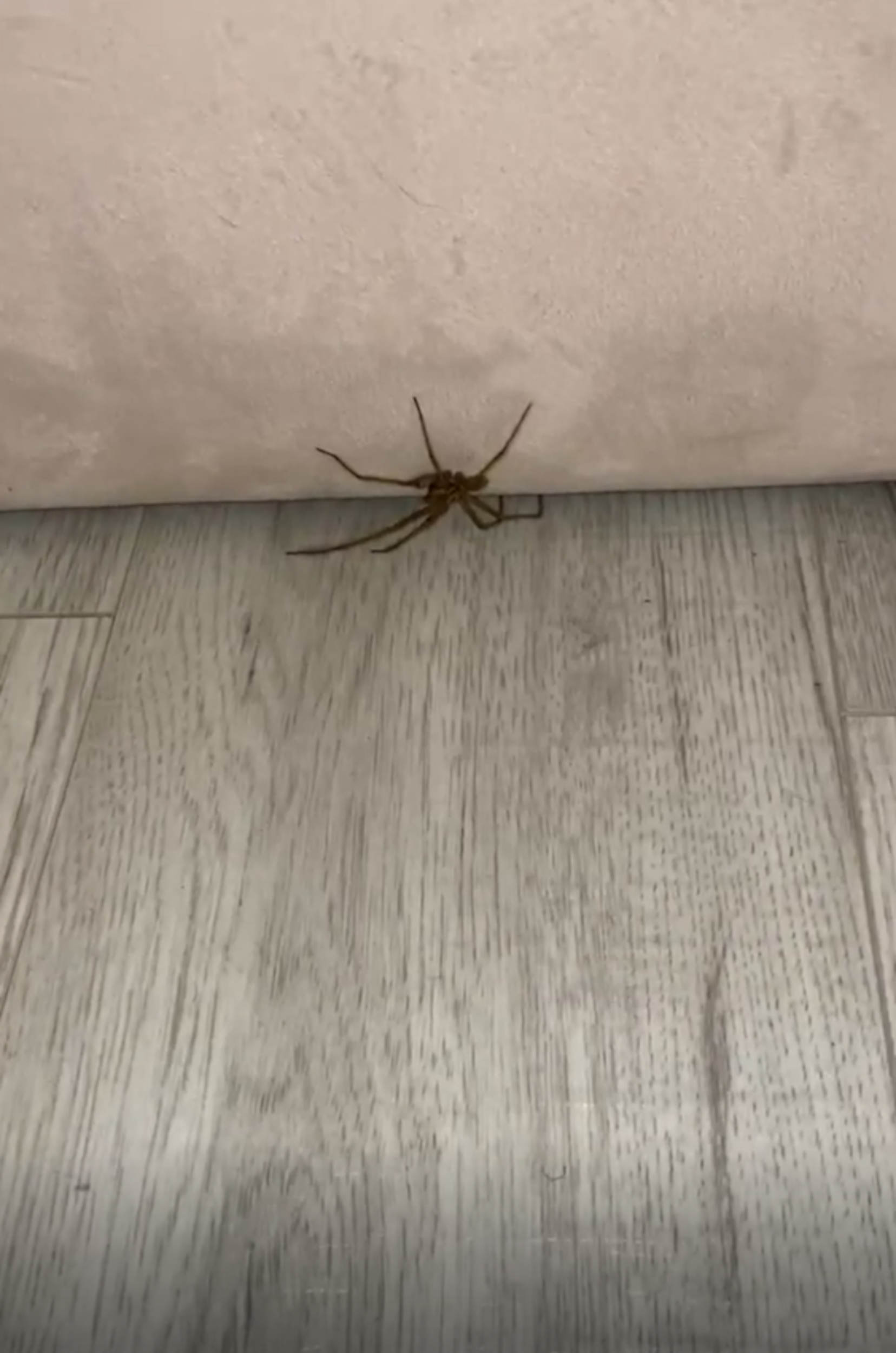 The giant spider - Animal News UK
