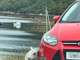 Itchy sheep and car reg - Animal News Scotland