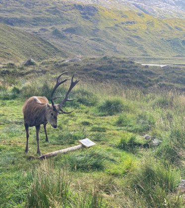 Stag with knocked over sign - Wildlife News Scotland
