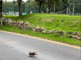 Rabbit and Stoat on road - Wildlife News Scotland