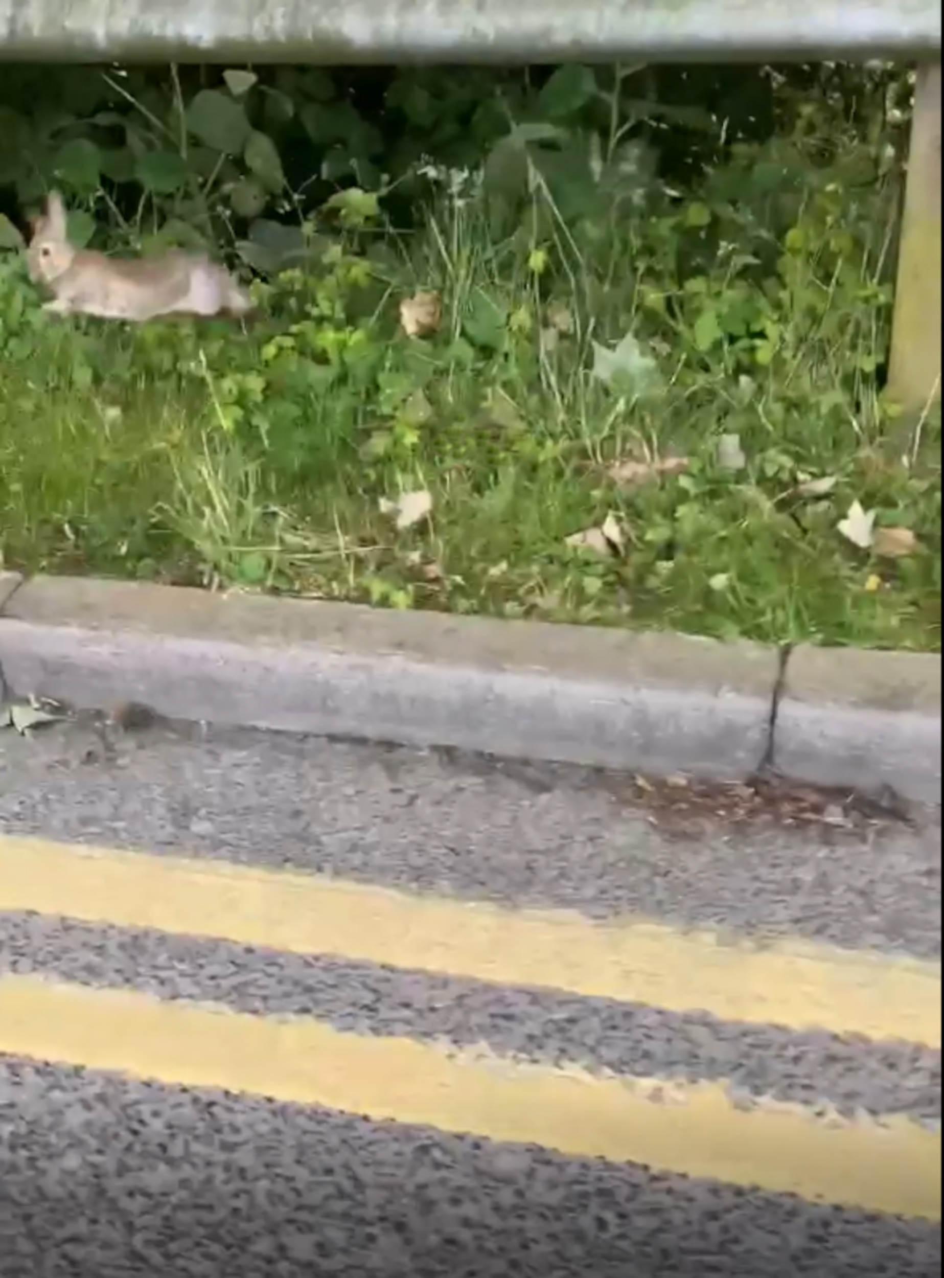 Rabbit escapes stoat - Wildlife News Scotland