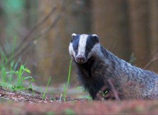 Badger looking at camera - Animal News Scotland