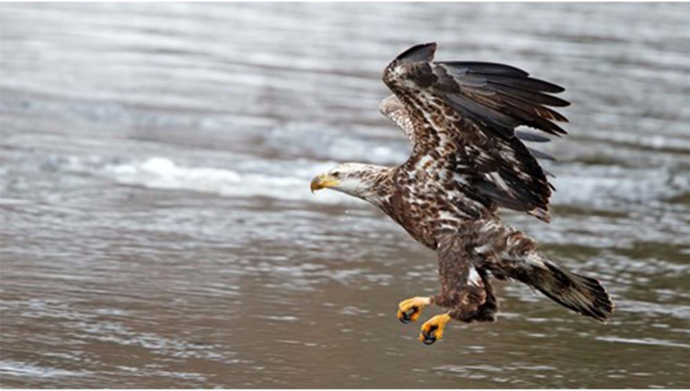 Eagle flying above the water- Animal News UK